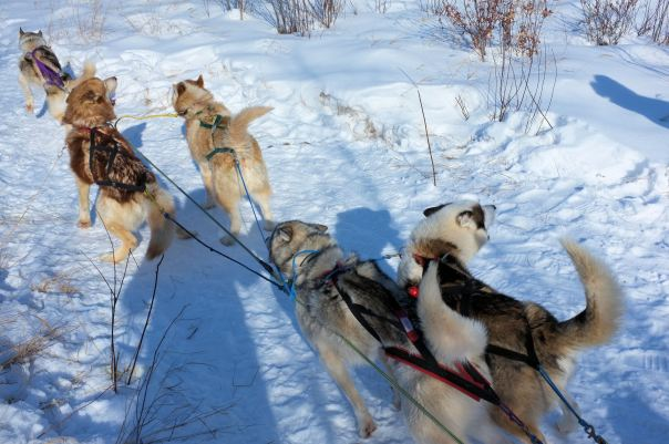 hedy bach photography ~ lumix ~ yellowknife ~ mushing ~ 3