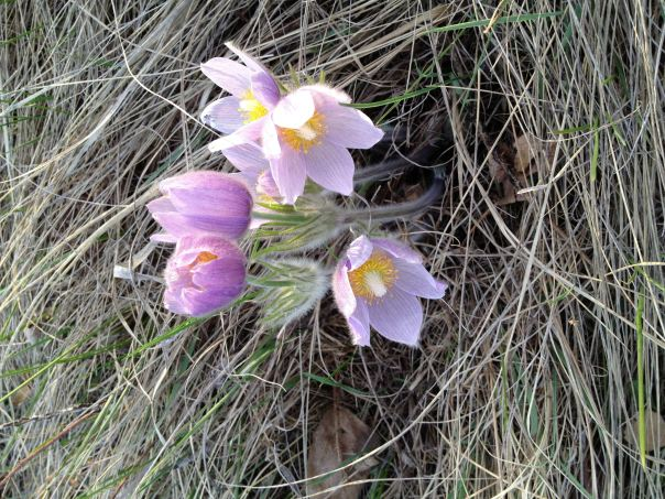 instagram snap shot ~ hedy bach ~ Crocus in Calgary