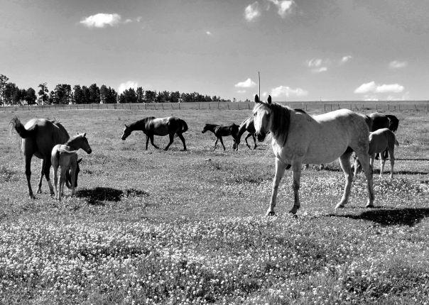 hedy bach photography ~ Sloppy Buddhist ~ Alberta spaces barn & horses b&w ~ 2