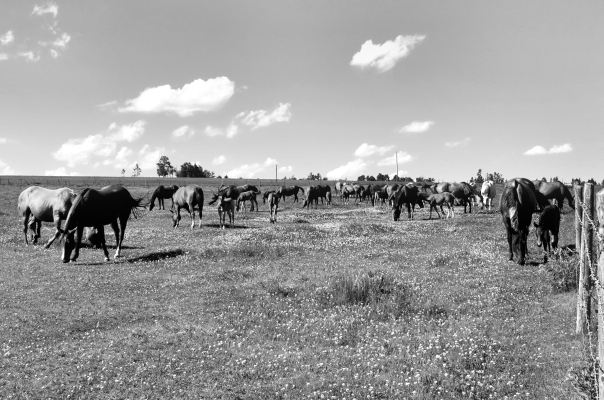 hedy bach photography ~ Sloppy Buddhist ~ Alberta spaces barn & horses b&w ~ 3