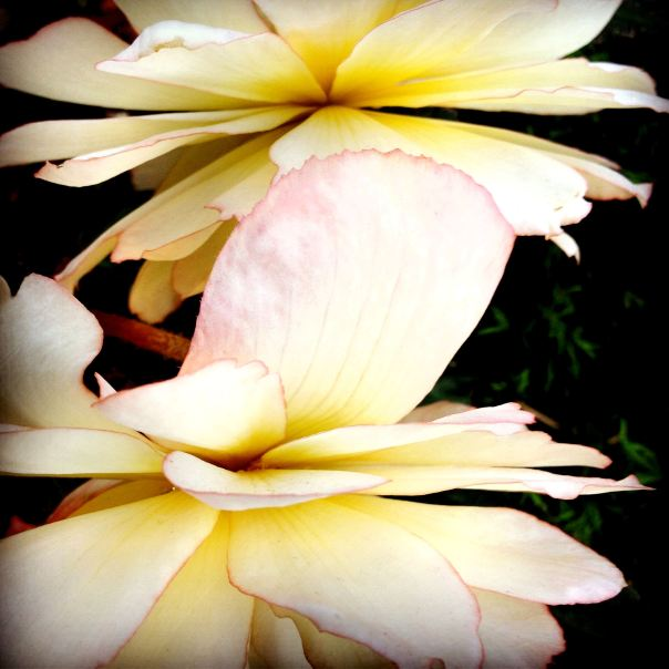 hedy bach photography ~ Sloppy Buddhist ~ mobile photography ~ flower ~ 1
