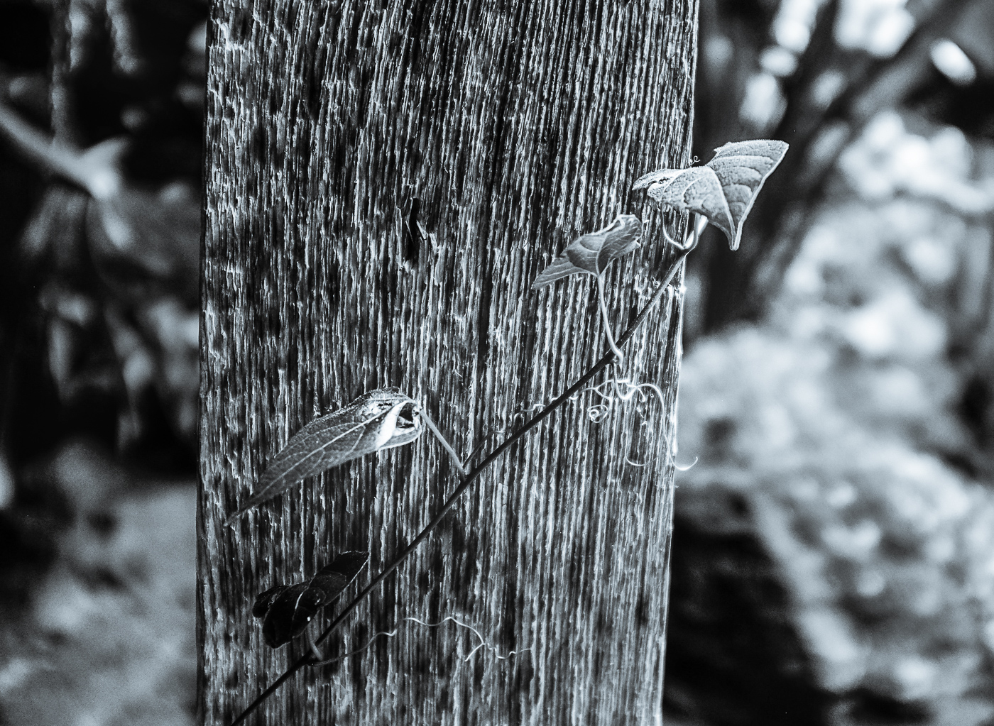 Hedy Bach Photgraphy - etown - leaves on femce b--w 1