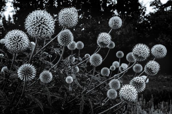 Hedy Bach Photgraphy - etown - thistle b-w 3