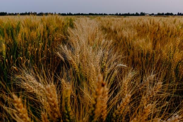 Hedy Bach Photography - u of a farm - sundown - 2