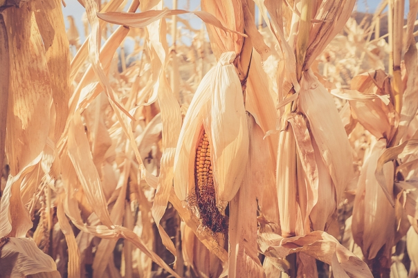 Hedy Bach Photography - corn - 14