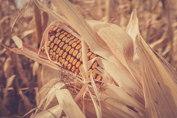 Hedy Bach Photography - corn - 5