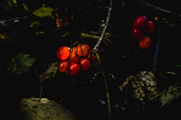 Hedy Bach Photography ~ first fall days - red berries and leaves - 1_