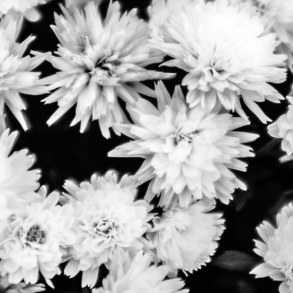 Hedy Bach Photography - flowers b-w 2d