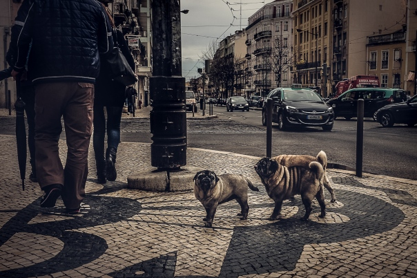 Hedy Bach Photography - Lisbon pugs - 1
