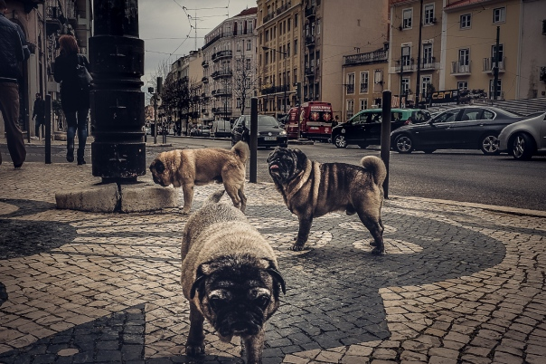 Hedy Bach Photography - Lisbon pugs - 2