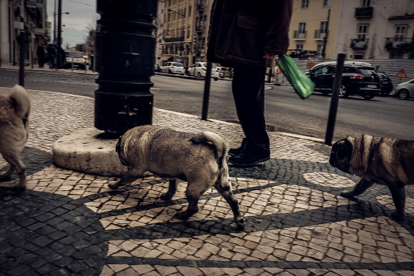 Hedy Bach Photography - Lisbon pugs - 3