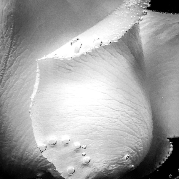 hb images - b-w rose and bubbles - 1_