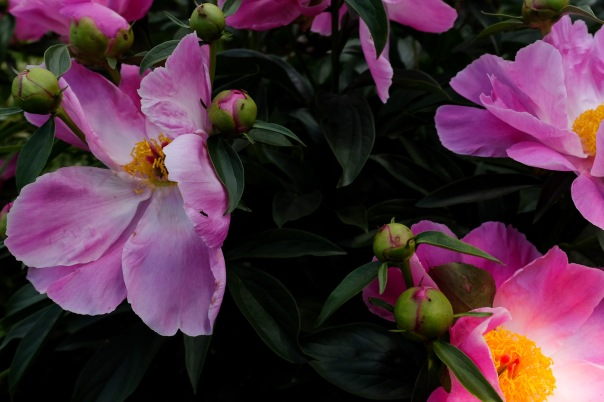 hb images - Peony - 1