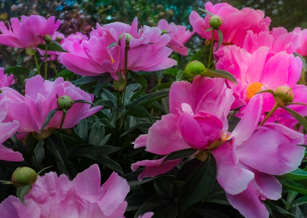 hb images - Peony - 2