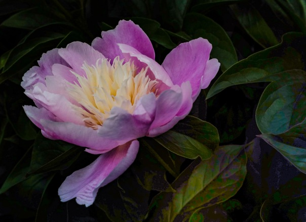 hb images - Peony - 7