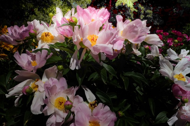 hb images - Peony - 8