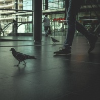 hb images - pigeon - 3a_