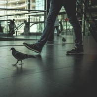 hb images - pigeon - 3b