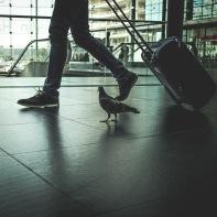hb images - pigeon - 3c