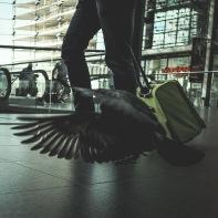 hb images - pigeon - 3g
