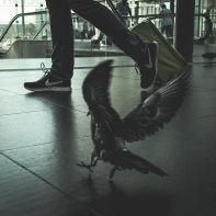 hb images - pigeon - 3i