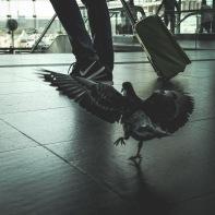 hb images - pigeon - 3j