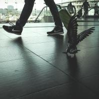 hb images - pigeon - 3k