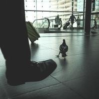 hb images - pigeon - 3l