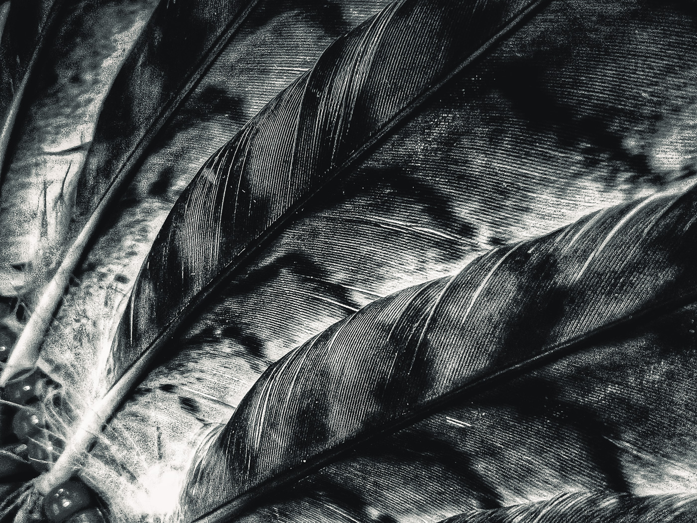 hedy bach images - feather - 3