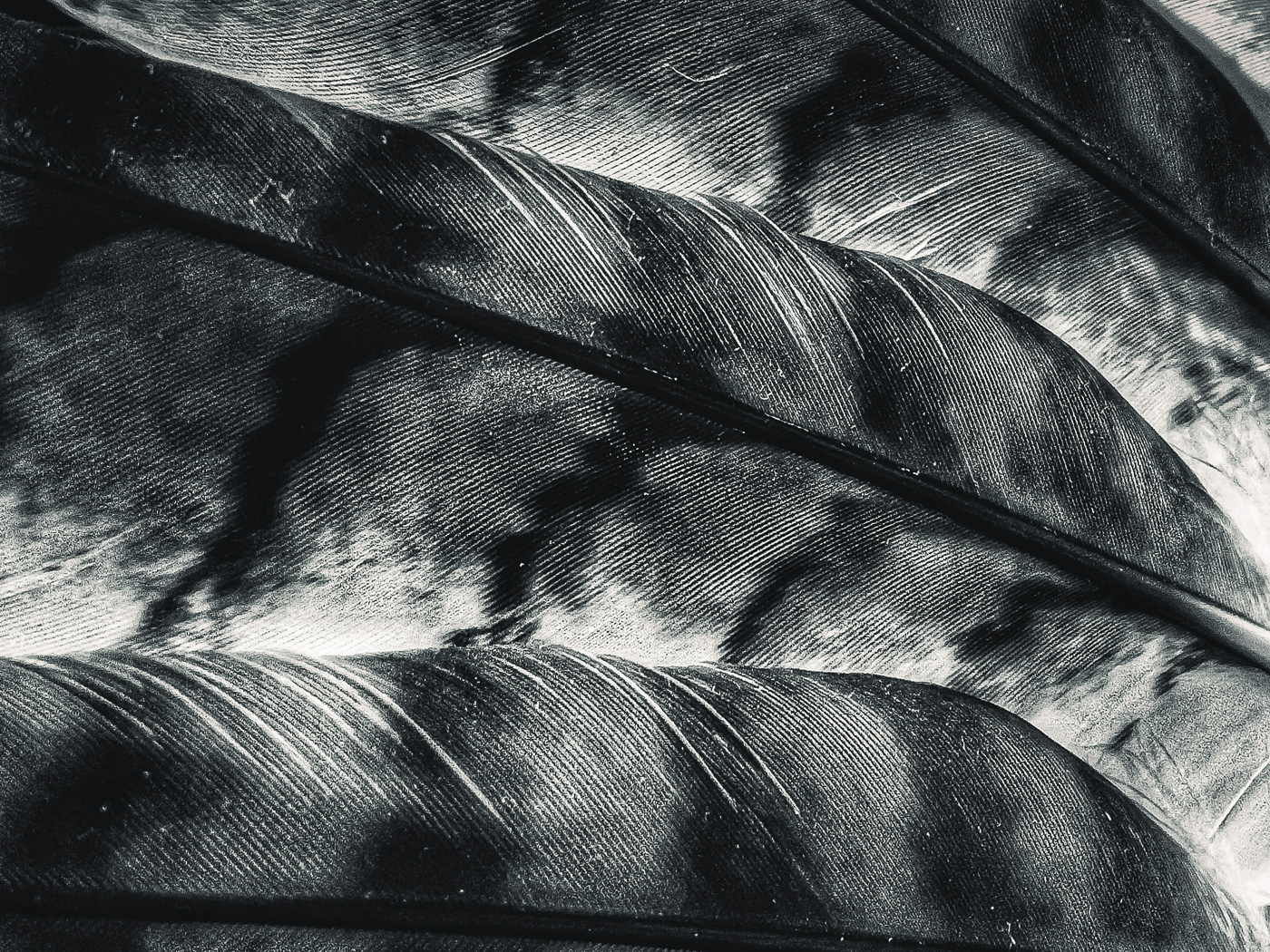 hedy bach images - feather - 4