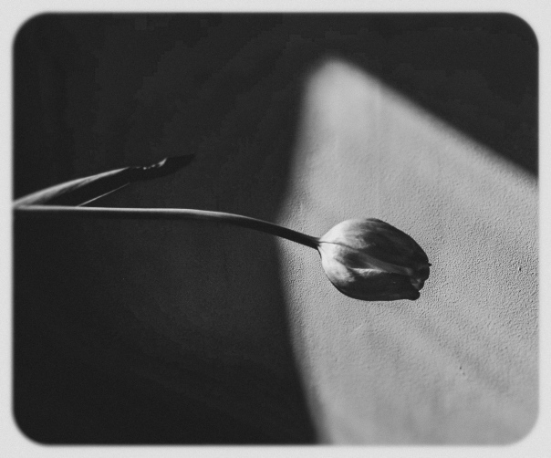 hedy bach images - dead tulip - bw 2