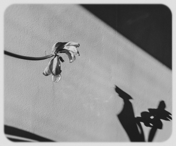 hedy bach images - dead tulip - bw 5