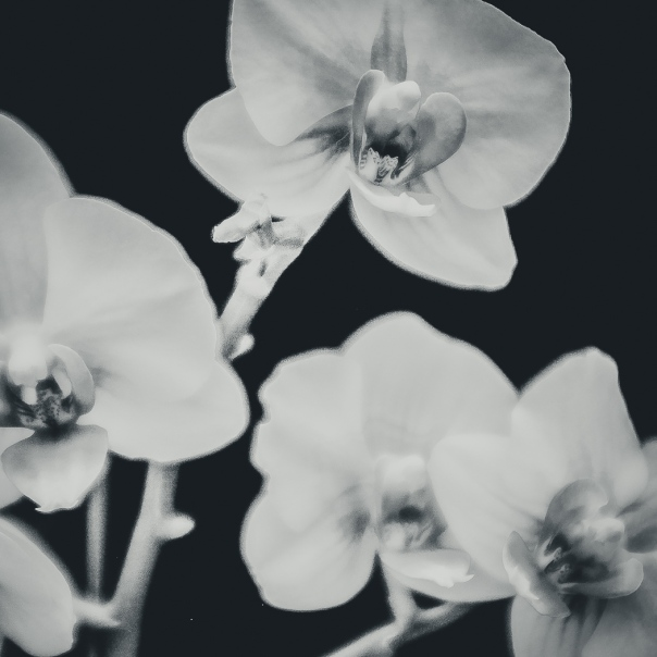 hedy bach images - orchid - 6