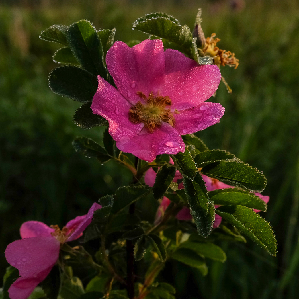 hedy bach images - alberta rose - 1_