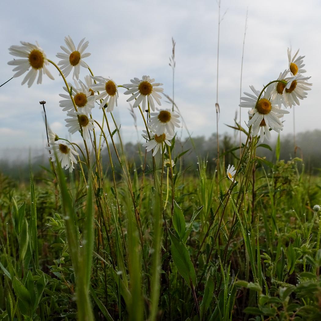 hedy bach images - daisy  - 1_.jpg