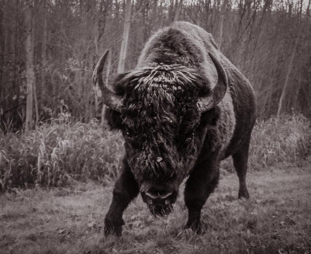 hedy bach images - bison - 1_