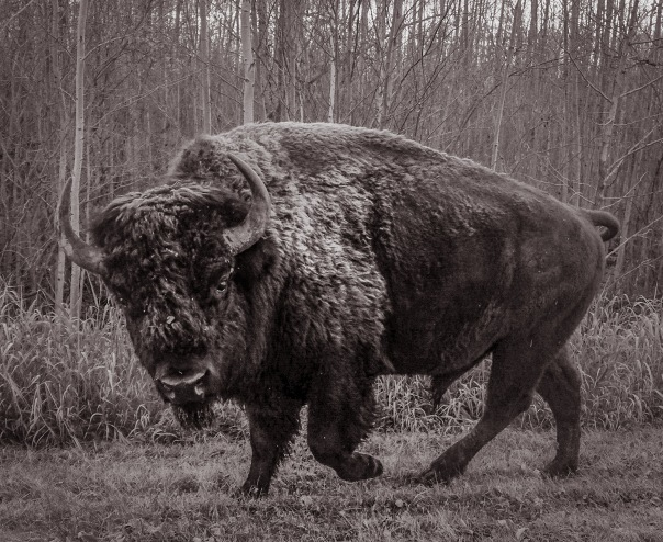 hedy bach images - bison - 3_