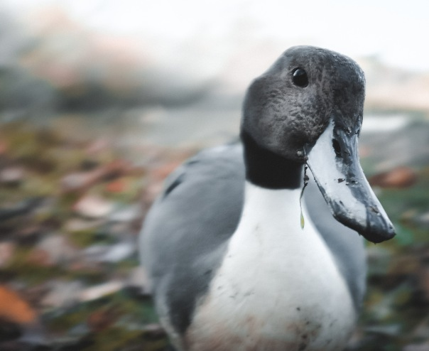 hedy bach images - duck 3
