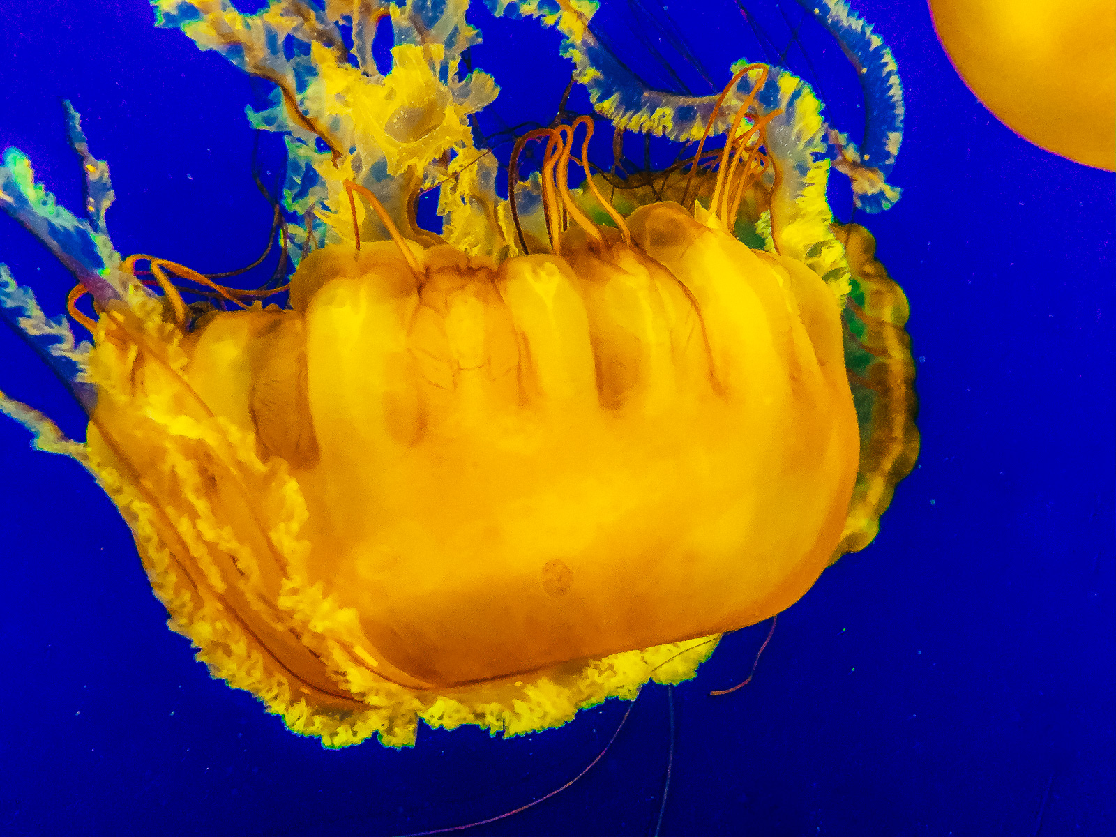 hedy bach images - jellyfish -d