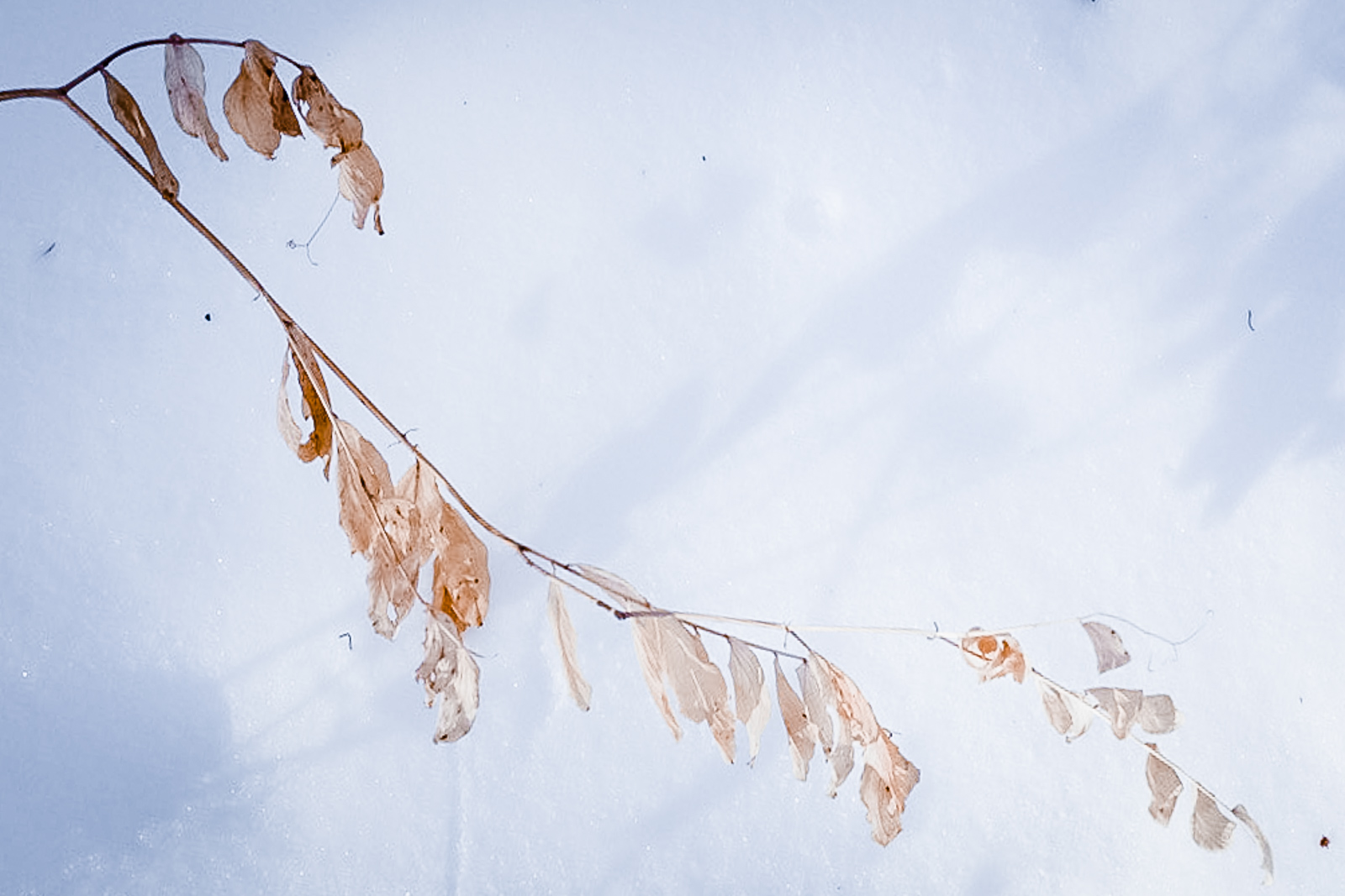 hedy bach images - sun leaves - 1_