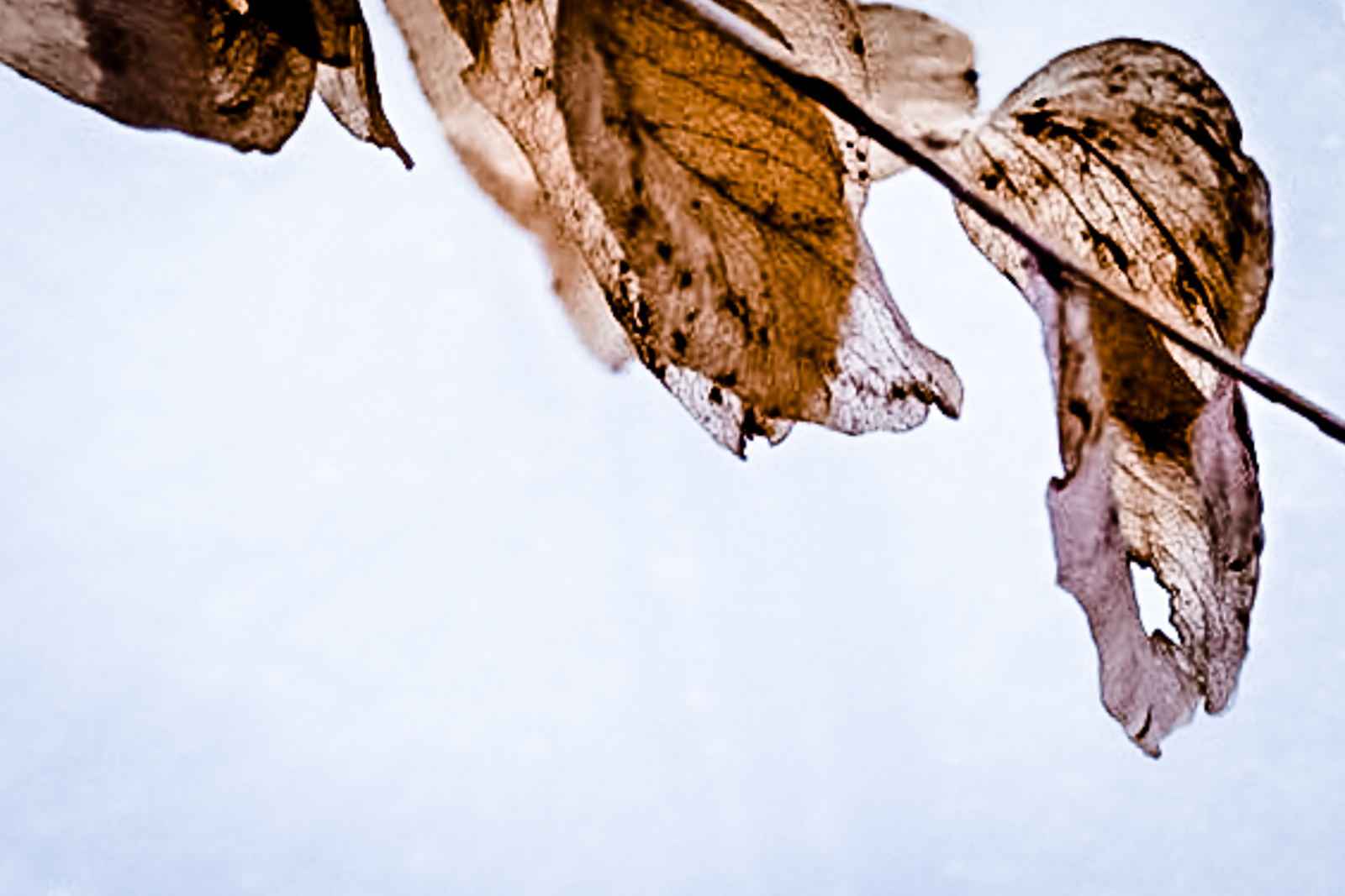 hedy bach images - sun leaves -2_