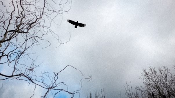 hedy bach images - eagle - 2