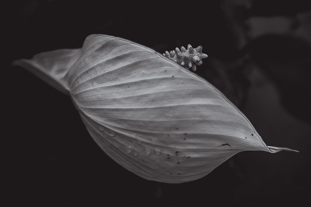 hedy bach images - flower b-w - 9