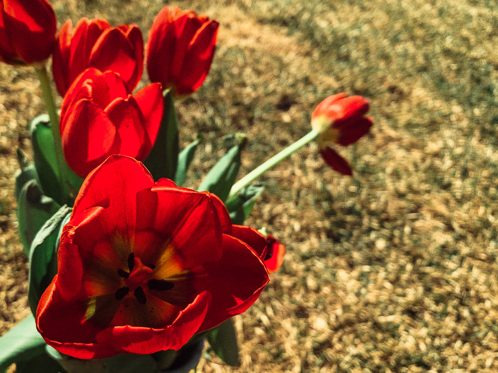 hedy bach - red tulip grass - 2