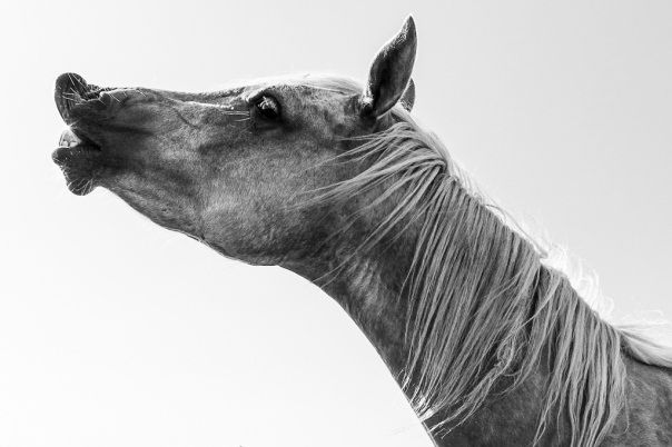 hedy bach images - horse b-w - 1_