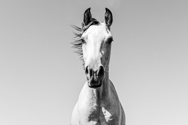 hedy bach images - horse b-w - 2_