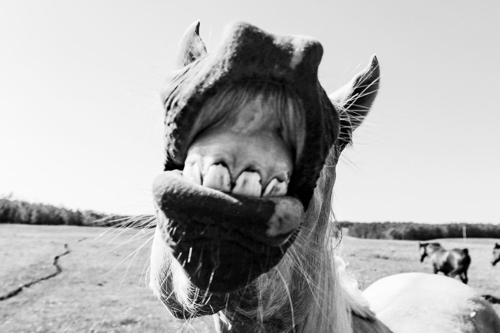 hedy bach images - horse b-w - 3_